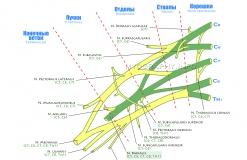 Лучевой нерв - N. Radialis - Проводящие пути в плечевом сплетении