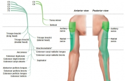 Лучевой и подмышечный нервы - Nn. Radialis et Axillaris - Двигательная и чувствительная иннервация