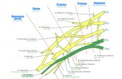 Локтевой нерв - N. Ulnaris - Проводящие пути в плечевом сплетении