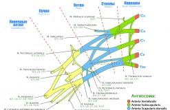 Плечевое сплетение - Схема - Ангиосомы