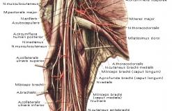 Плечевое сплетение - Анатомия - вид спереди