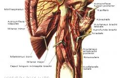 Плечевое сплетение - Анатомия - вид сзади
