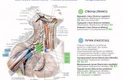 Плечевое сплетение - Анатомия - вид справа - Стволы и пучки